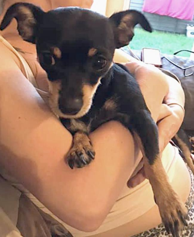 Have you seen her? Missing pet chihuahua, Coco