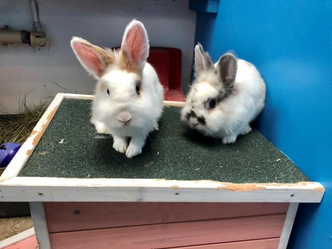 Tinker and Thumper are a pair of three-year-old Lionhead rabbits
