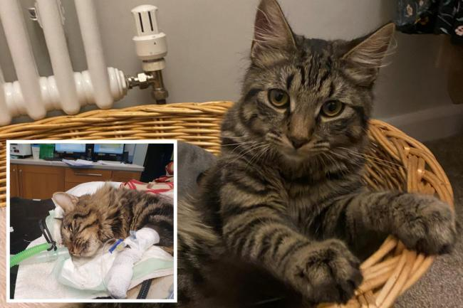 Oskar the cat died after being attacked by two dogs in Bushey. Photos: Alexandra Jenkins, Medivet