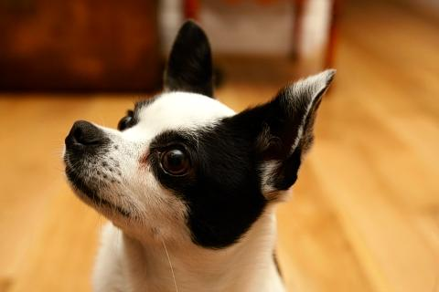 Watford Observer: Dog owner' upset after attack on Chihuahua