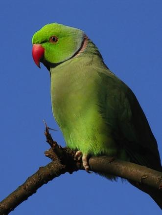 A ringnecked parakeet.