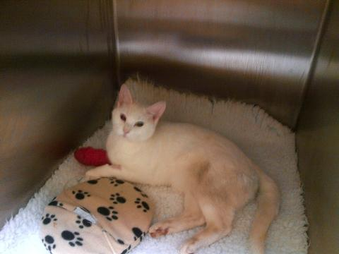 Pepsi, a female Turkish Angora, was found outside on the lawn after being shot by an air rifle in November last year