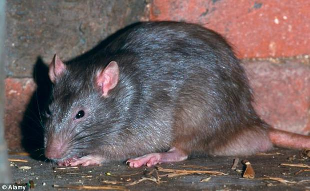 Watford residents warned heavy rain could mean rats invasion