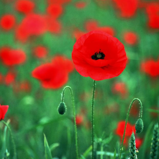 Watford Observer: World War One poppies to be planted across Bushey