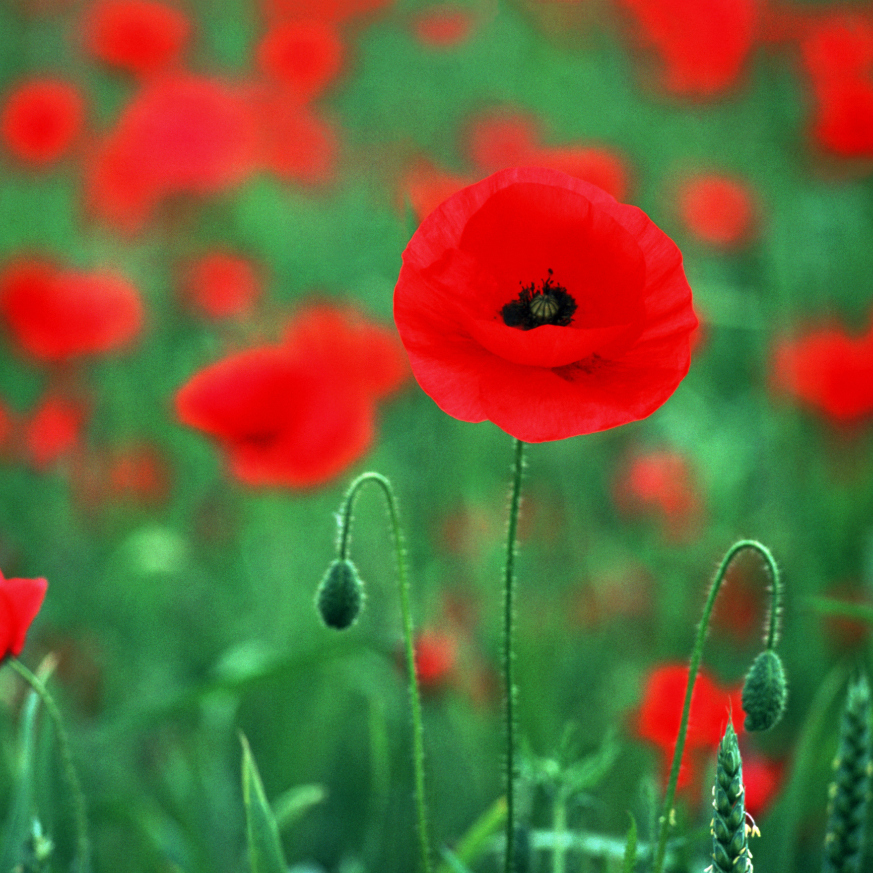 World War One poppies to be planted across Bushey