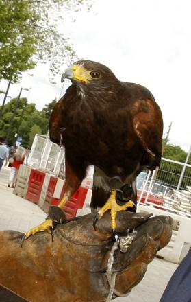 Harris Hawk patrol hired to terrify Parade pigeons