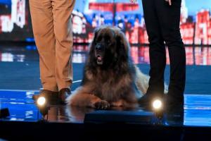 Hagrid the 13-stone dog will attempt to break a world record on BGMT