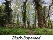 Black Boy wood