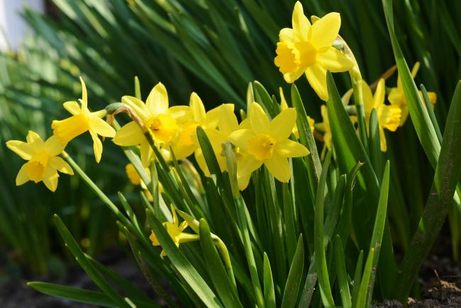 Susan Field was dismayed to see children picking daffodils in Oxhey Park